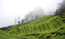 Munnar 165 km away from cherai,summer resort of the British Government